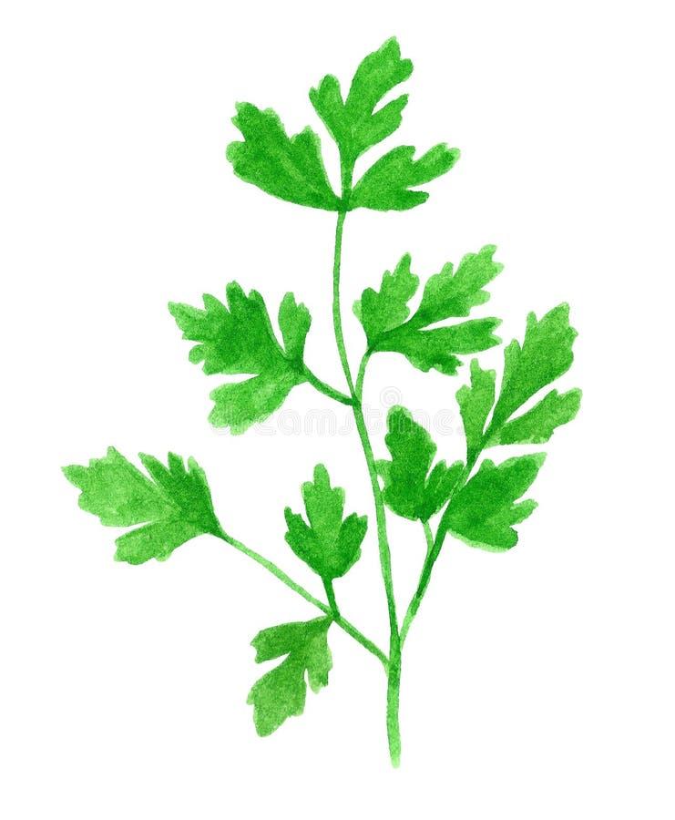 Gałąź ziele, kolendery lub pietruszka, ilustracji