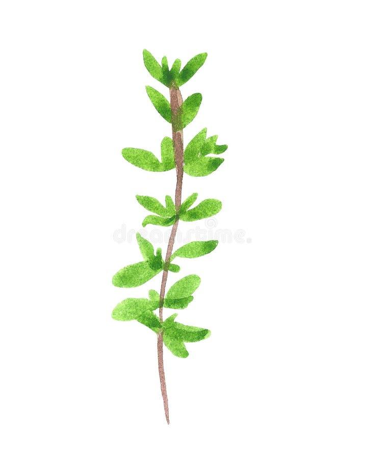 Gałąź ziele, macierzanka, akwareli ilustracja royalty ilustracja