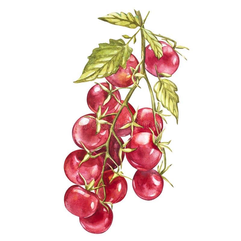 Gałązka świeży czereśniowy pomidor odizolowywający na białym tle Akwarela obrazek royalty ilustracja
