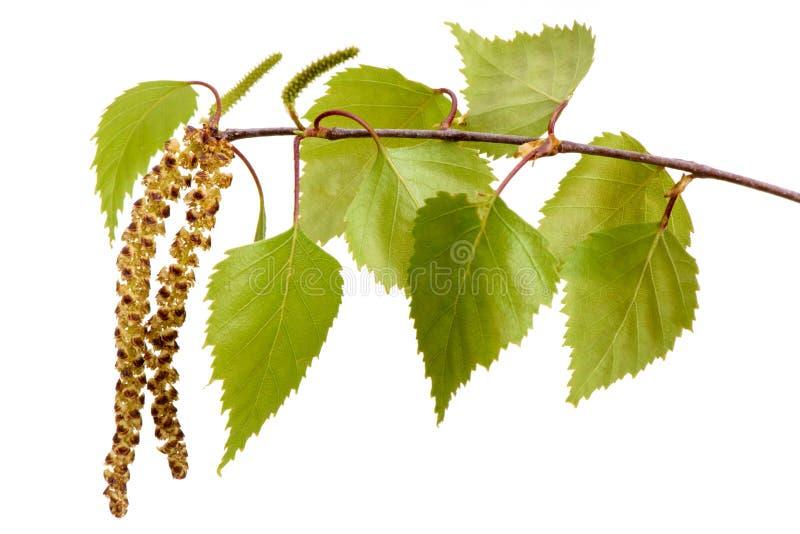 Gałązka brzozy drzewo obraz stock