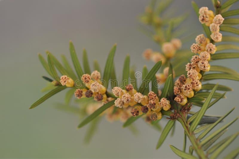 Gałązka cisowy z męskimi kwiatami Taxus fotografia stock