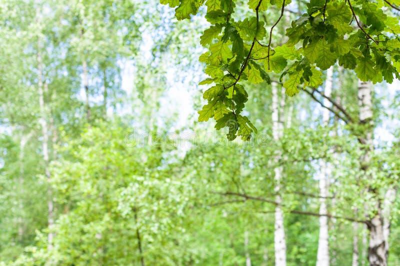 Gałązka dębowy drzewo w lesie z zamazanym tłem obrazy royalty free