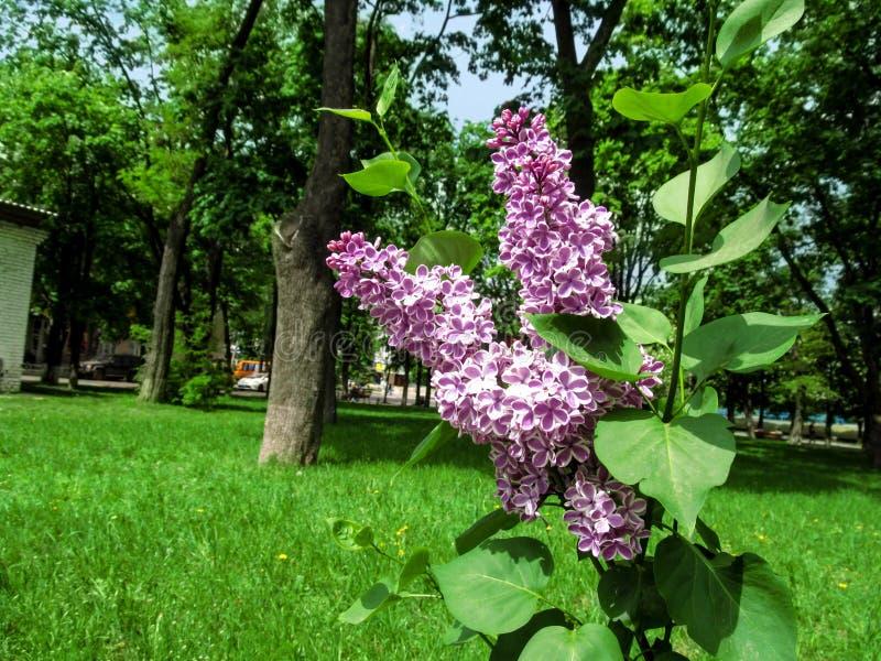 Gałązka dwubarwnego Syringa ` furory vulgaris ` w tle park obraz stock