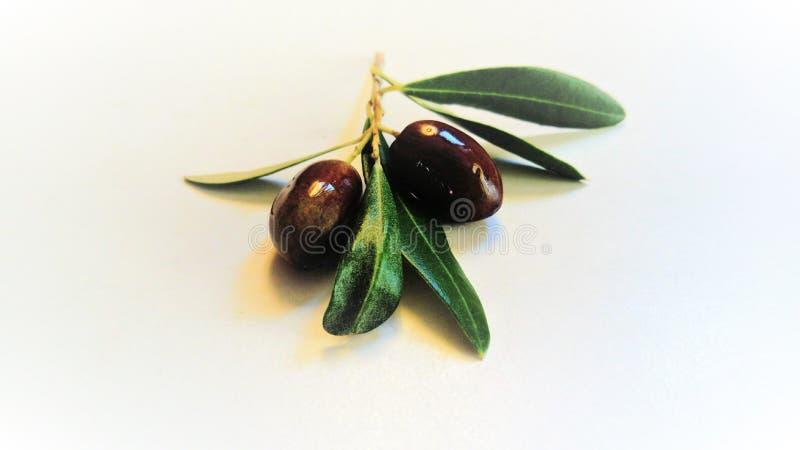 Gałązka oliwna na białym tle fotografia royalty free