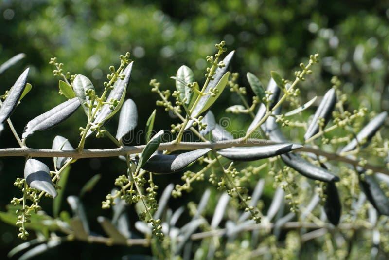 Ga??zka oliwna w wio?nie na zielonym tle Obudzenie natury i owoc przyrost obraz royalty free