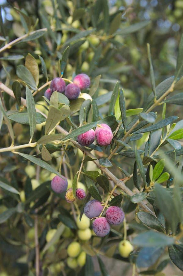 Gałązka oliwna z dojrzałymi owoc obrazy royalty free