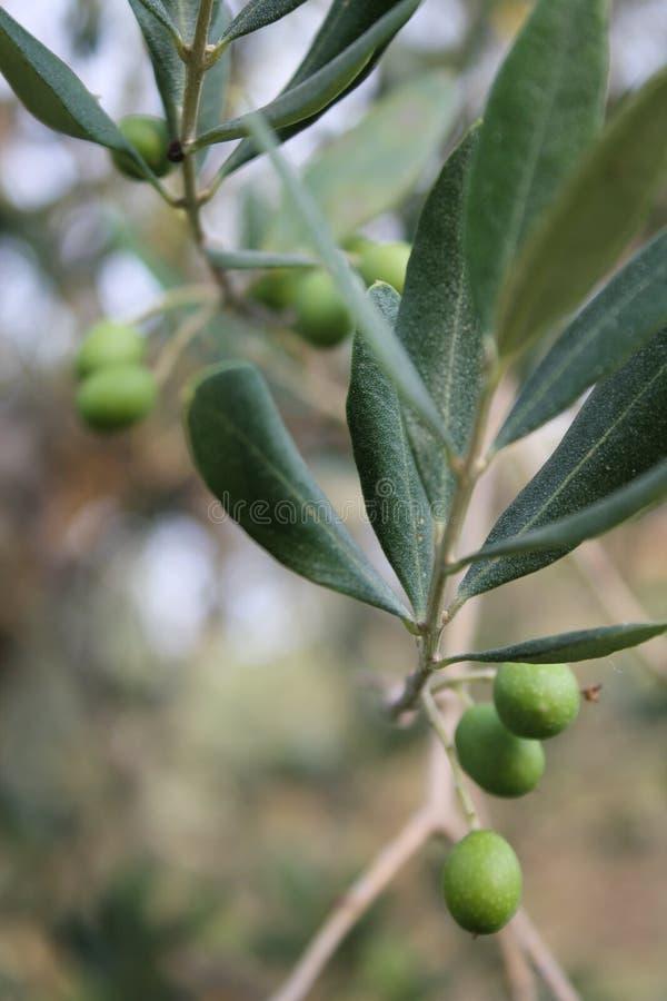 Gałązka oliwna z zielonymi owoc obrazy royalty free