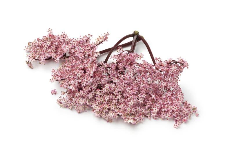 Gałązka różowy elderberry okwitnięcie obrazy stock
