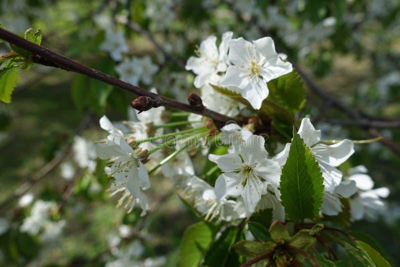 Gałązka wiśnia z kwiatami na długich badylach zdjęcia royalty free