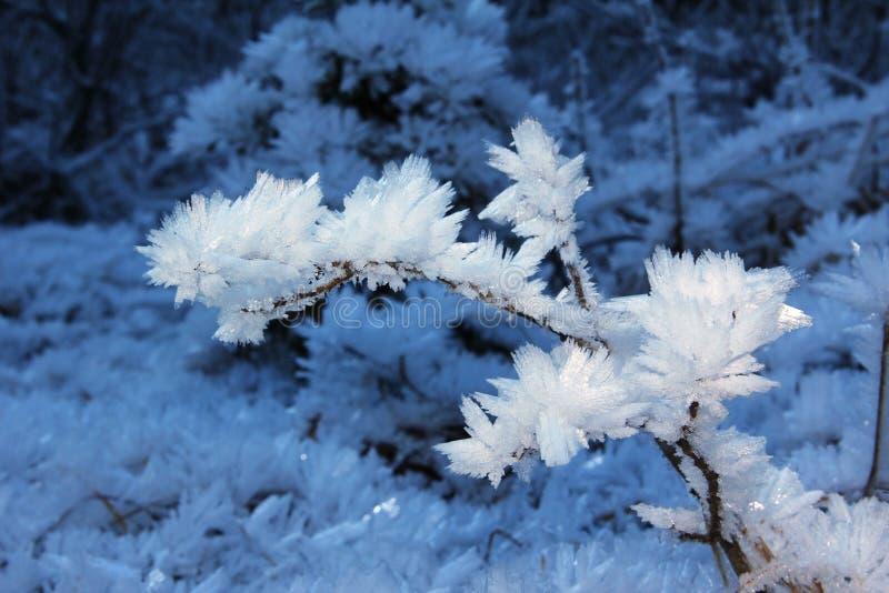 Gałązka z hoarfrost lodowymi igłami fotografia royalty free