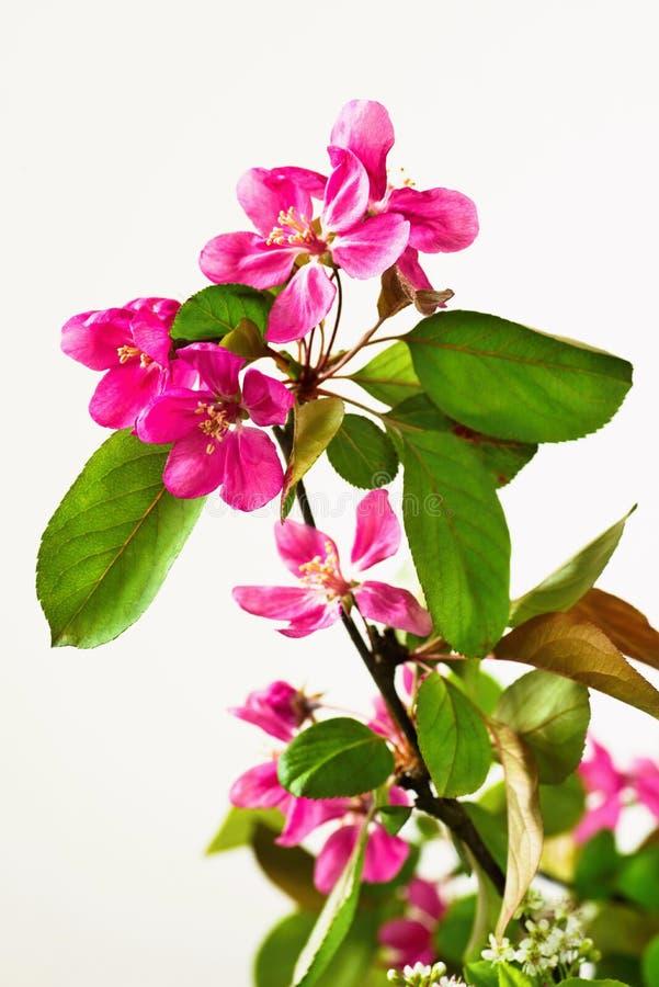 Gałązka z kwitnąć różowego Sakura zdjęcie royalty free