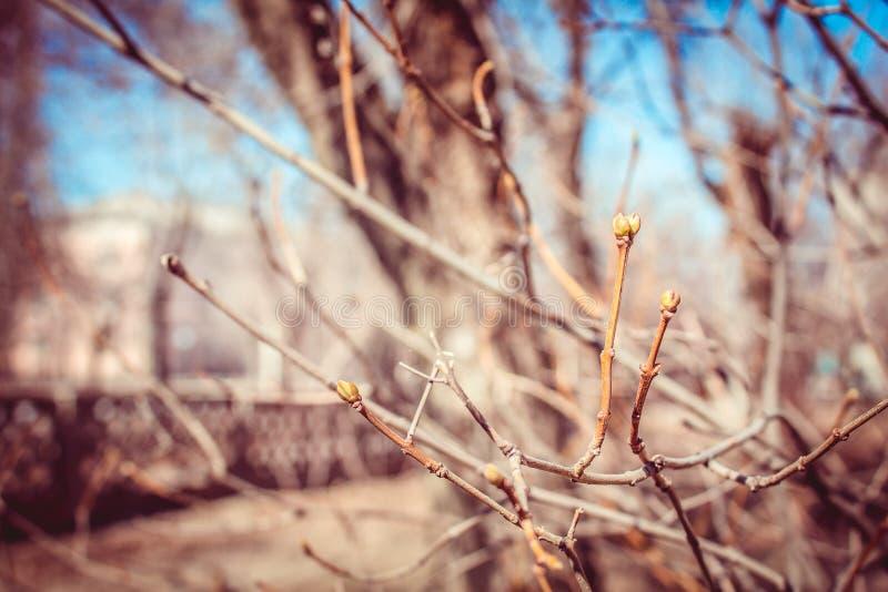 Gałązki drzewa pączki zdjęcia stock