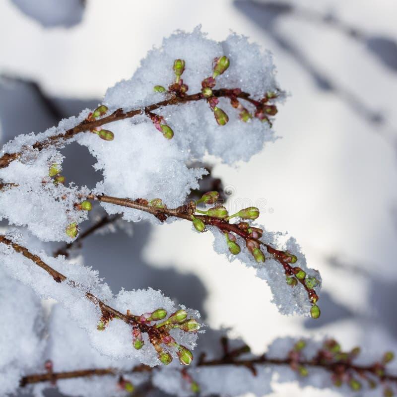 Gałązki kwitnąć czereśniowej śliwki zakrywającej z nagle spadać śniegiem w górę zdjęcia stock