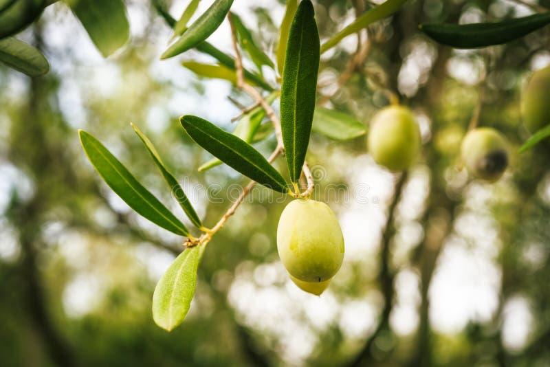 Gałązki oliwne na zmierzchu obrazy stock
