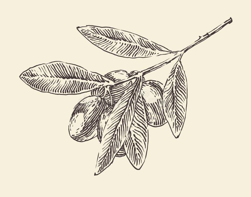 gałązki oliwnej (drzewo oliwne gałąź) rocznik ilustracja, grawerujący retro styl, ręka rysująca ilustracja wektor