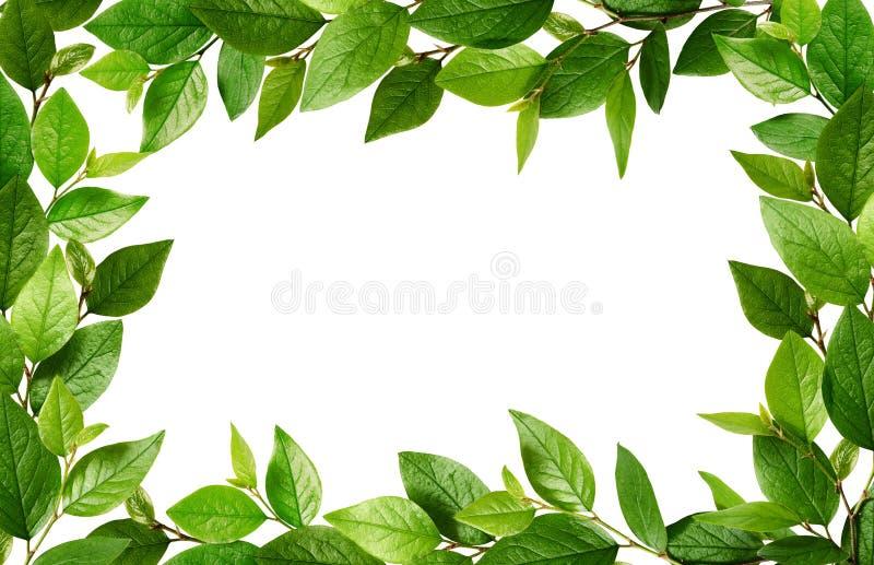 Gałązki z świeżymi zielonymi liśćmi w ramie obraz stock