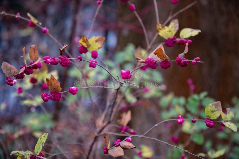 Gałązki z małymi round menchii jagodami na gałąź obraz stock