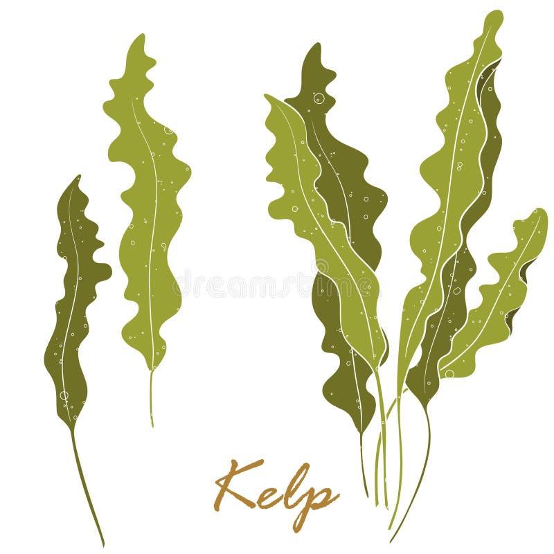 Ga??zatki Laminaria lub Kelp Zielonego jedzenia algi odizolowywa? na bia?ym tle ilustracja wektor