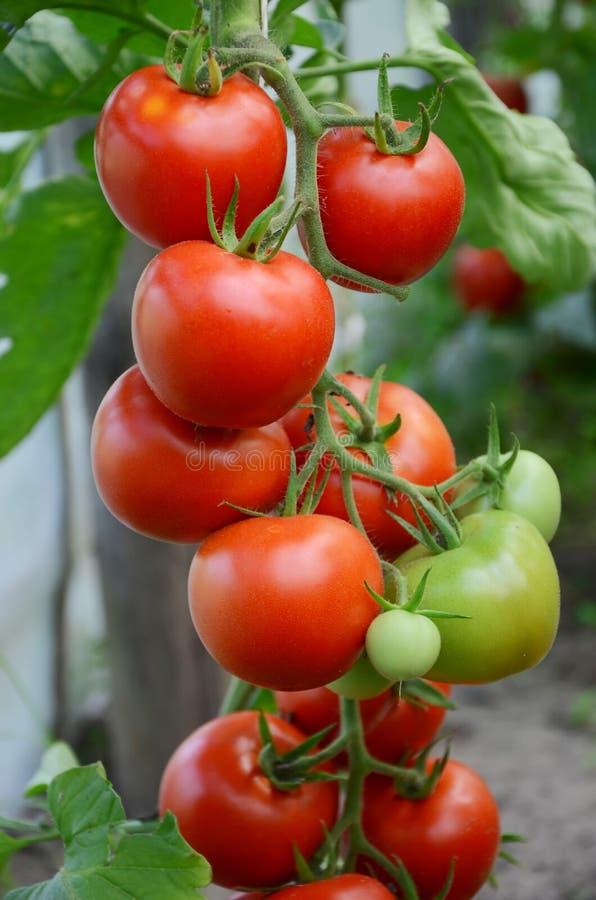 gałęziaści pomidory obrazy royalty free