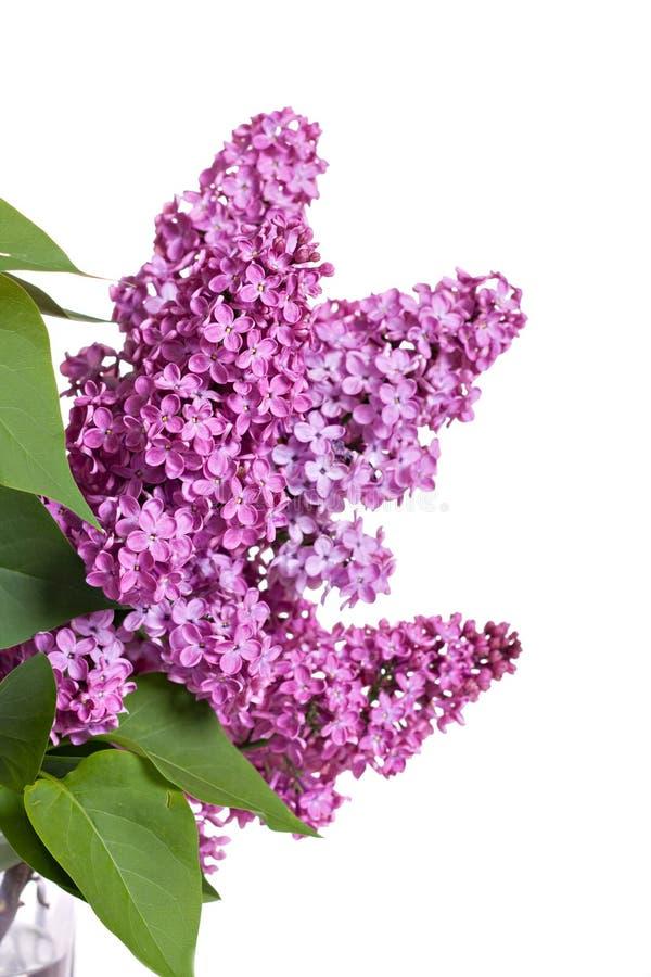 gałęziasta świeża lila wiosna zdjęcia royalty free