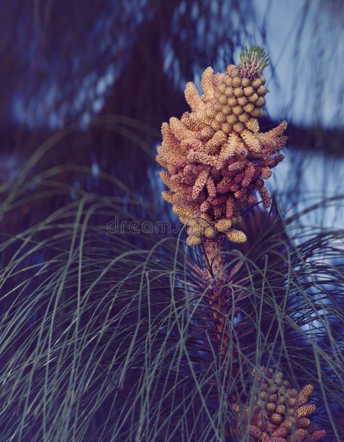 Gałęziasta sosna z kwiatostanem obrazy royalty free