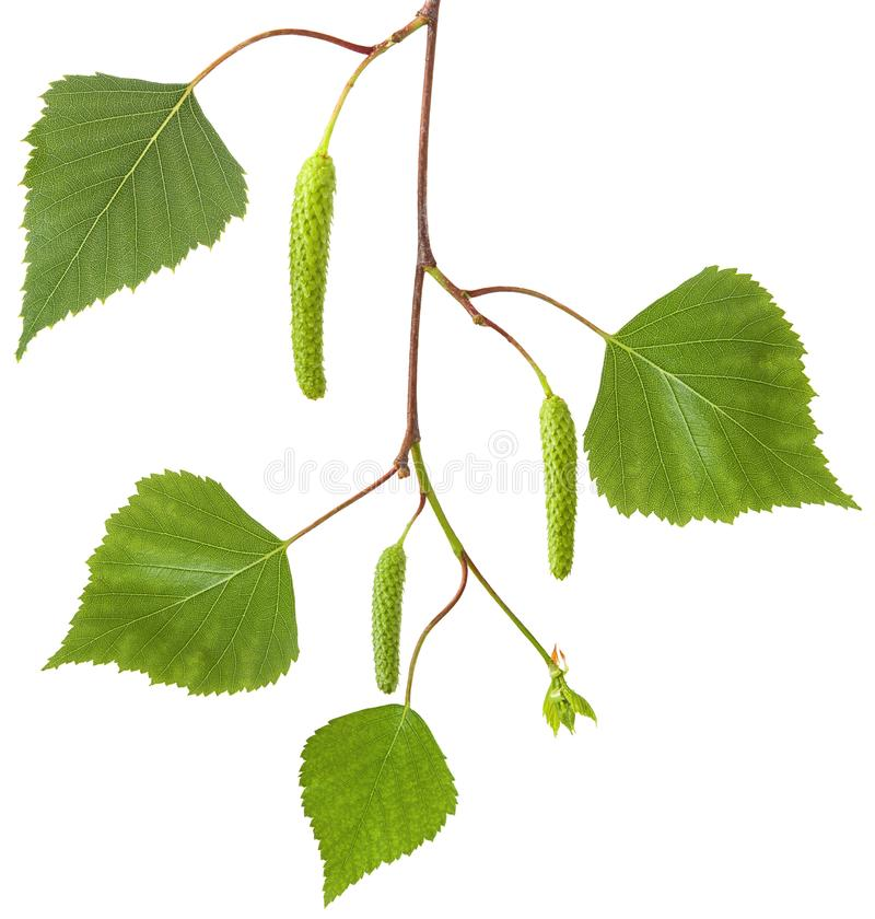 Gałęziasty brzozy drzewo z świeżą wiosny zielenią opuszcza kolczyki odizolowywających na białym tle i kwitnie, w górę zdjęcie royalty free