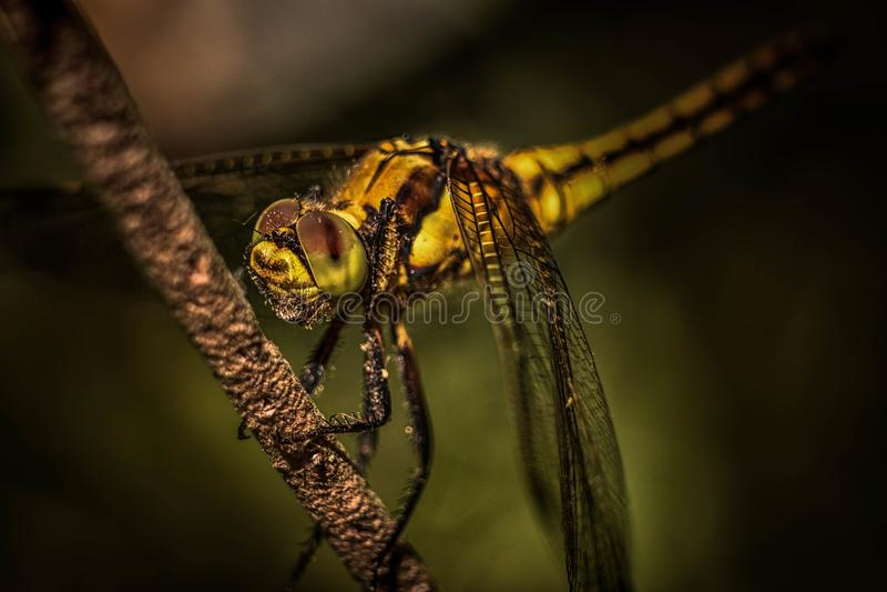gałęziasty dragonfly libellula ramo su zdjęcia royalty free