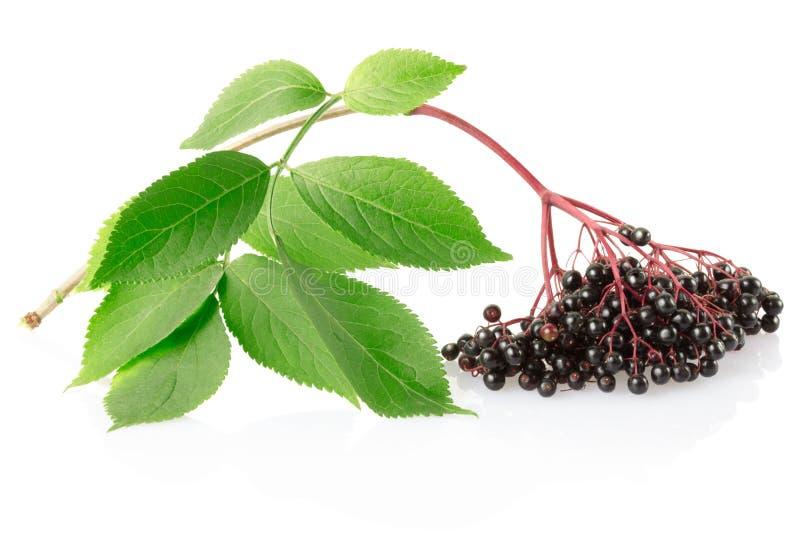 gałęziasty elderberry nigra sambucus zdjęcia royalty free