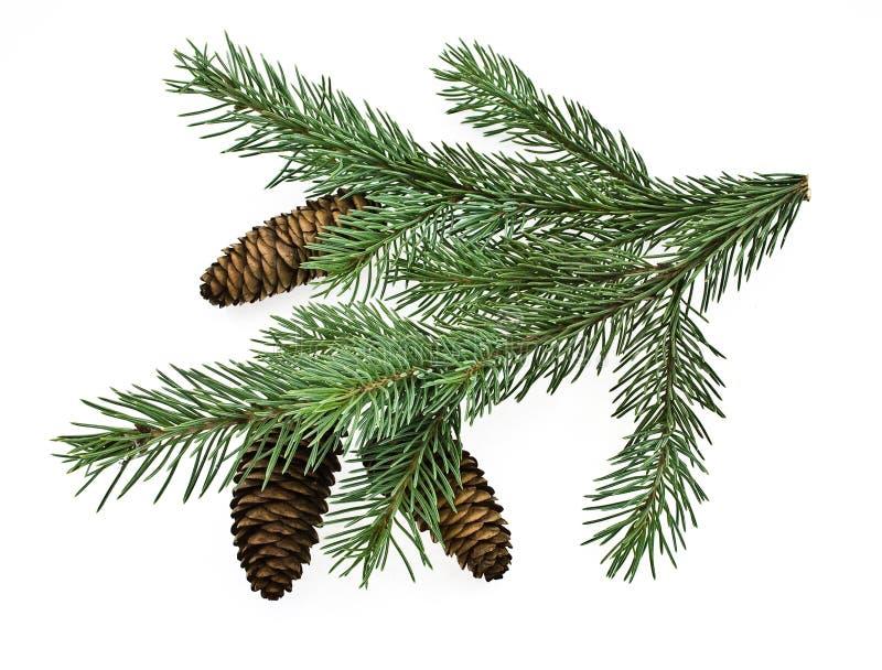 gałęziasty jedlinowy drzewo obraz stock