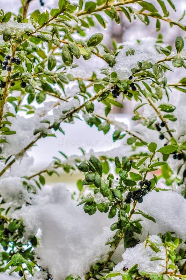 gałęziasty krzaka zimno marznąca zima obrazy royalty free