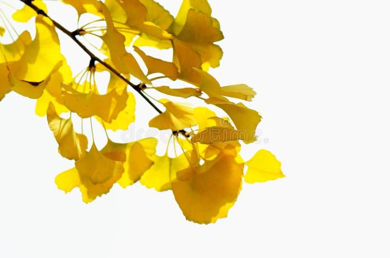 gałęziasty miłorząb zdjęcia stock