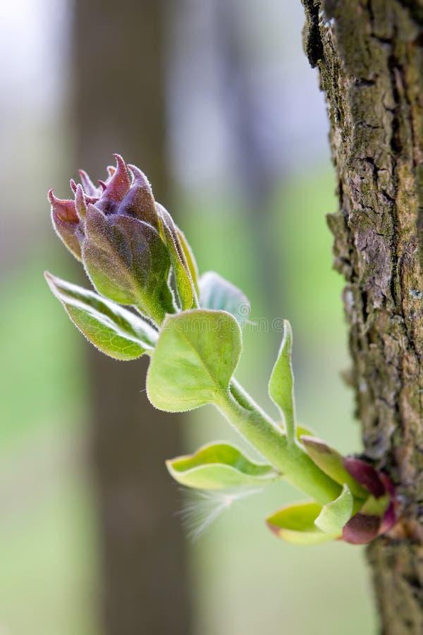 gałęziasty pączkowy drzewo obrazy stock