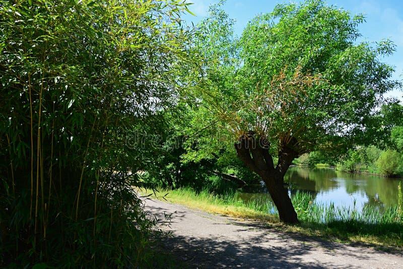 Gałęziasty podobieństwo bambusowy ulistnienie i wierzbowy drzewo na stronie przeciwnej droga obok wodnego stawu - fotografia royalty free