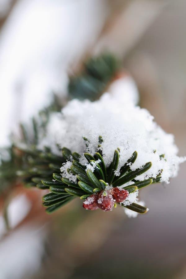 gałęziasty sosnowy śnieżny obraz stock