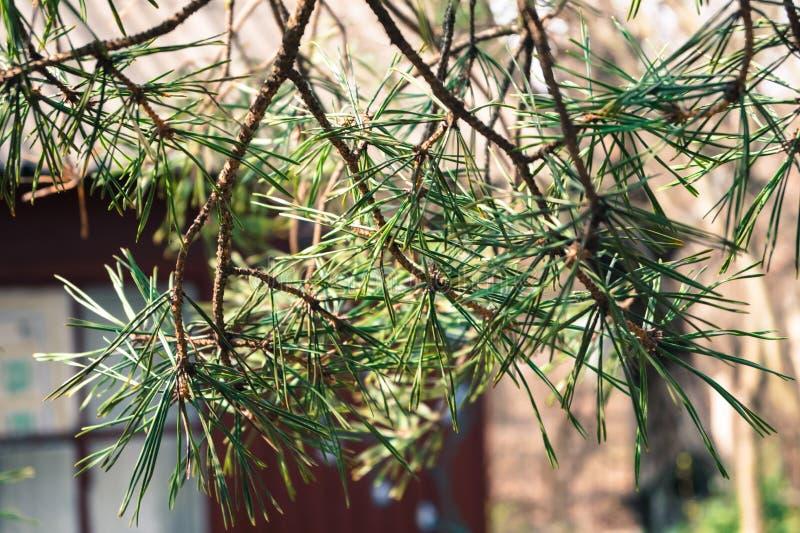 Gałęziasty wiecznozielony drzewo sosna obraz stock