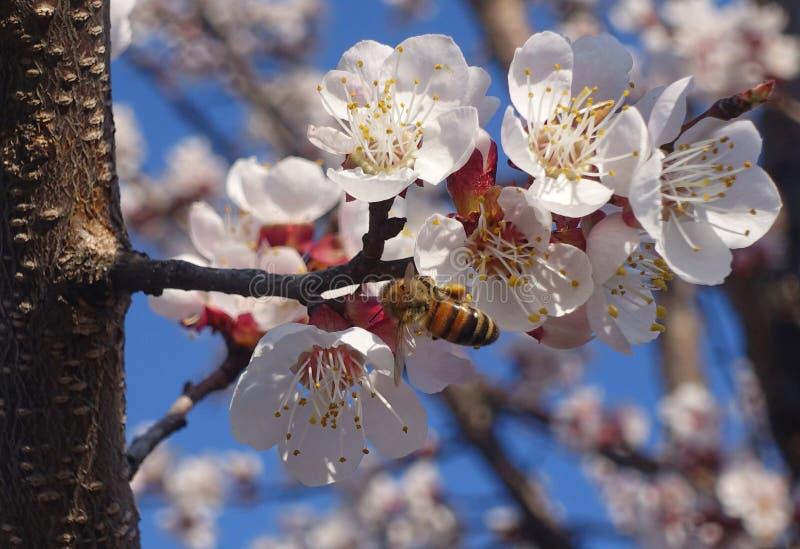 Gałęzie kwitnącego makra wiśniowego z pszczołą na łagodnym jasnoniebieskim tle w świetle słonecznym Piękny kwiat wiosny obrazy royalty free