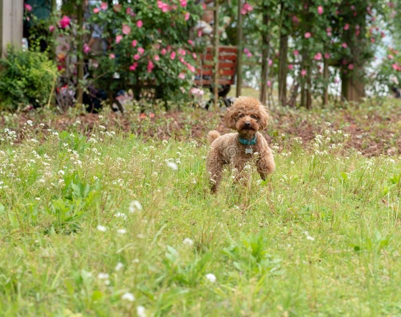 Ga wild op de gras-poedel stock fotografie