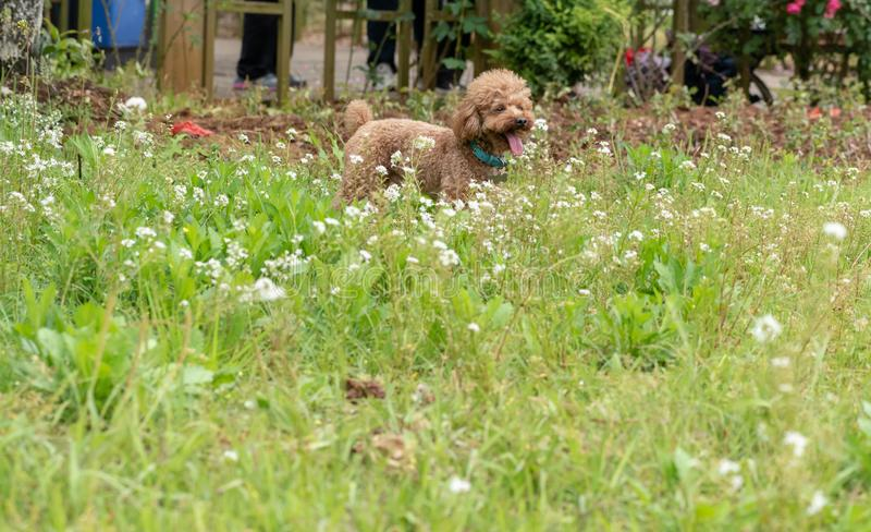 Ga wild op de gras-poedel stock afbeelding