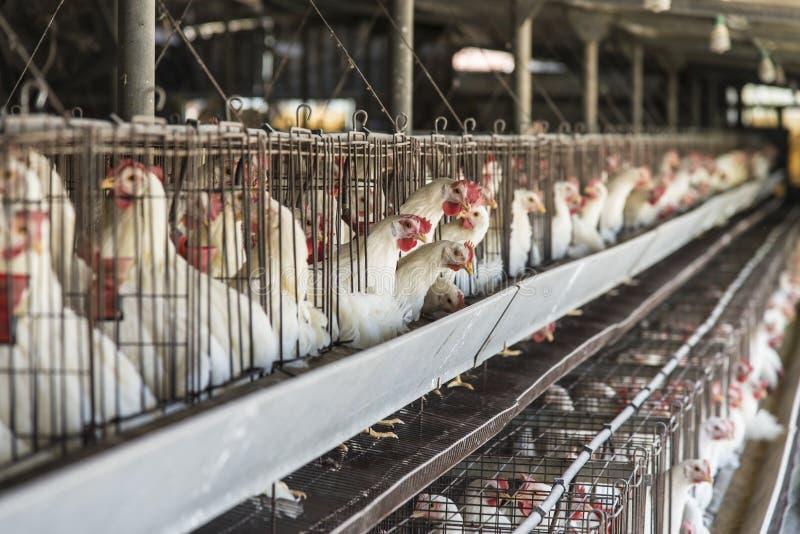 Gabbia di pollo fotografia stock