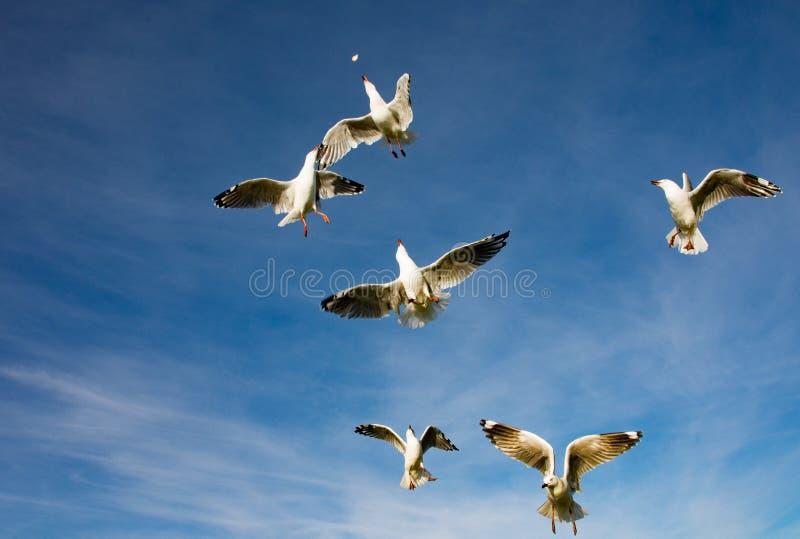 Gabbiani che competono per il residuo disperso nell'aria dell'alimento fotografia stock libera da diritti