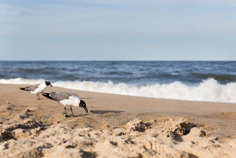 Gabbiani che mangiano sulla spiaggia fotografia stock