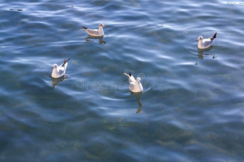 Gabbiani che nuotano fotografie stock libere da diritti