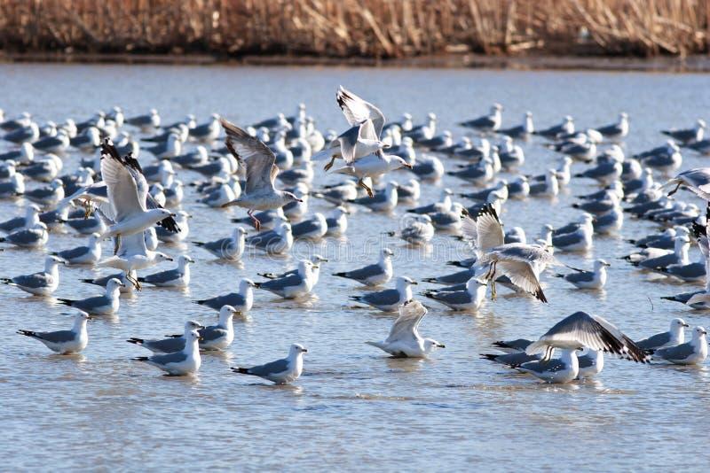Gabbiani che sbarcano in acqua immagine stock libera da diritti