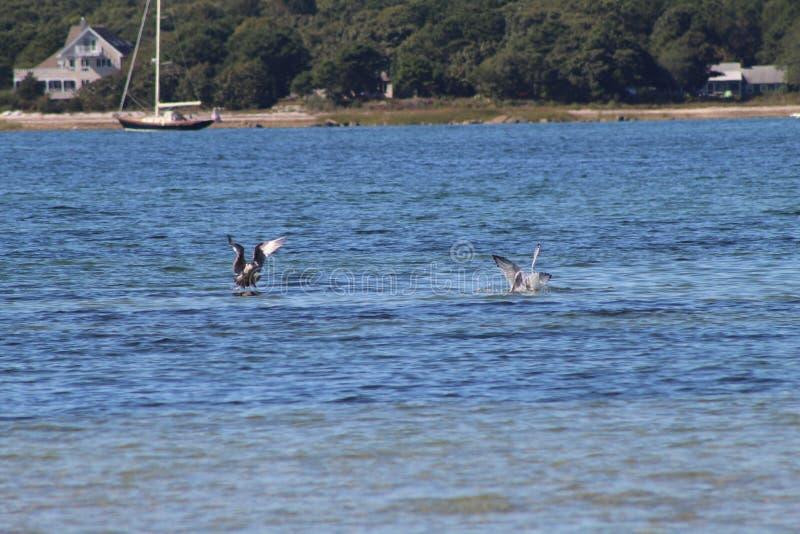 Gabbiani che serpeggiano intorno alla spiaggia del Capo Cod immagini stock libere da diritti