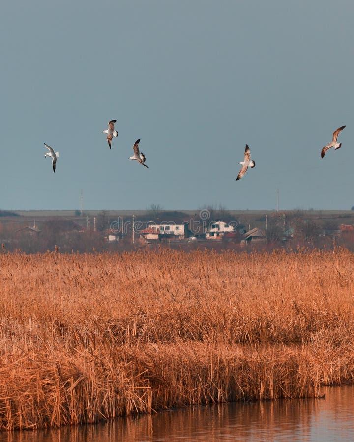 Gabbiani che volano nel delta immagine stock libera da diritti