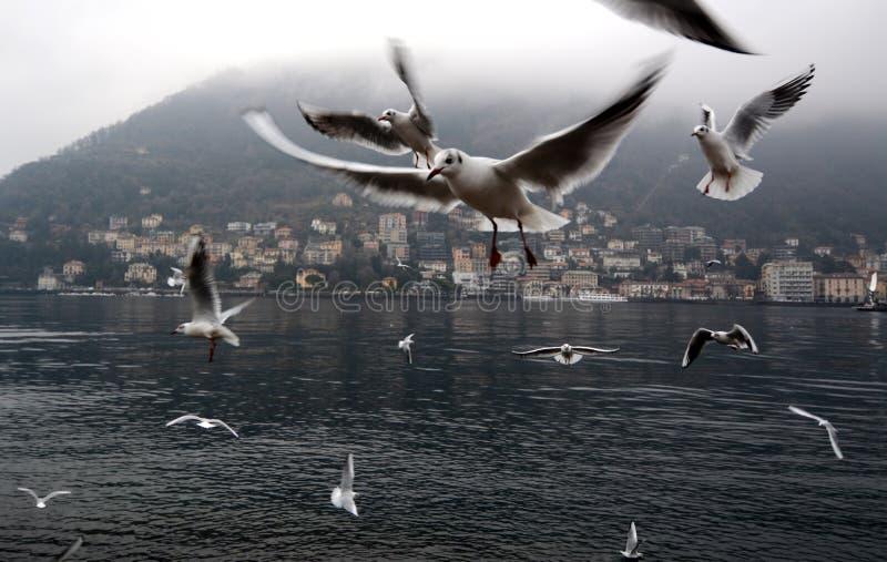 Gabbiani che volano sul lago Como immagini stock libere da diritti