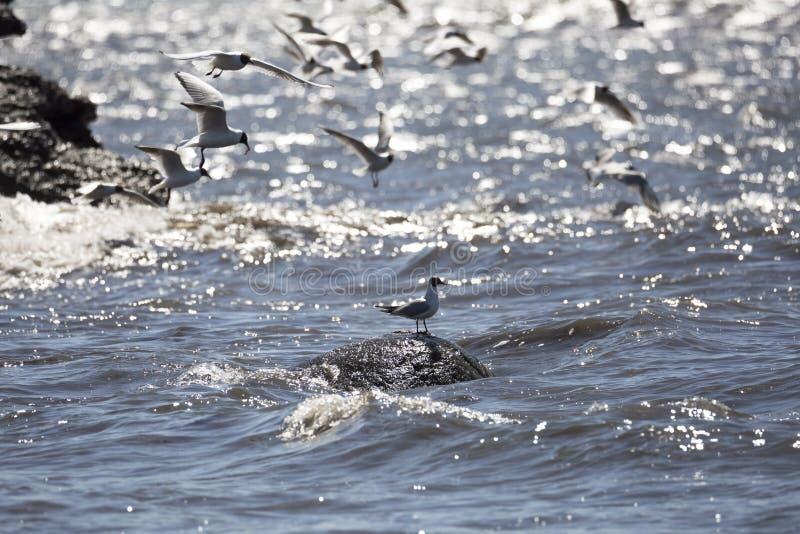 Gabbiani comuni che sorvolano acqua immagini stock libere da diritti