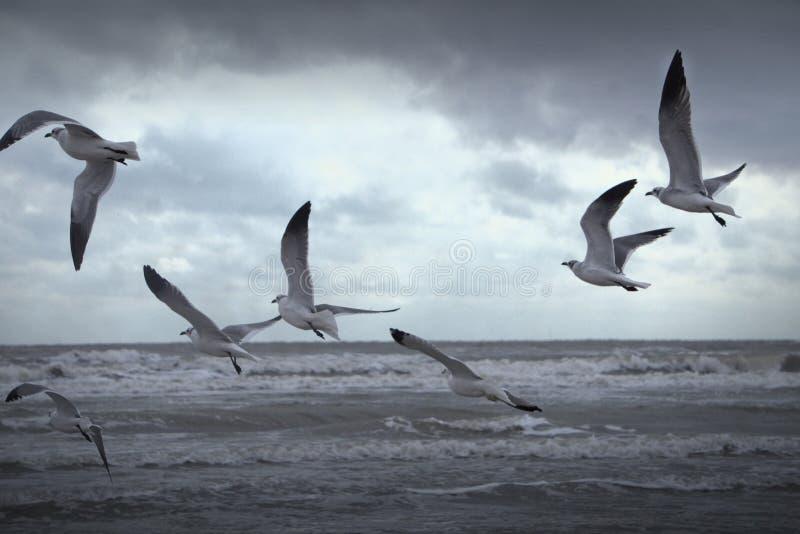 Gabbiani degli uccelli che volano Lakeshore in una spiaggia immagini stock