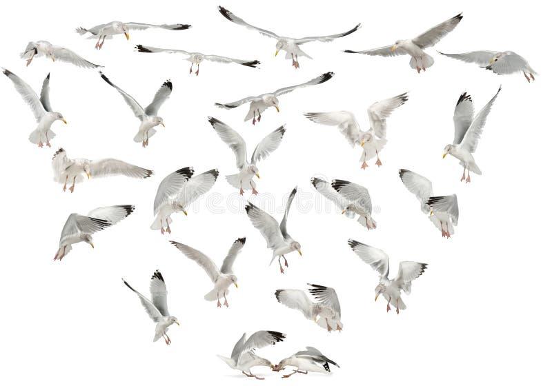 Gabbiani di aringhe europei, argentatus del Larus fotografia stock