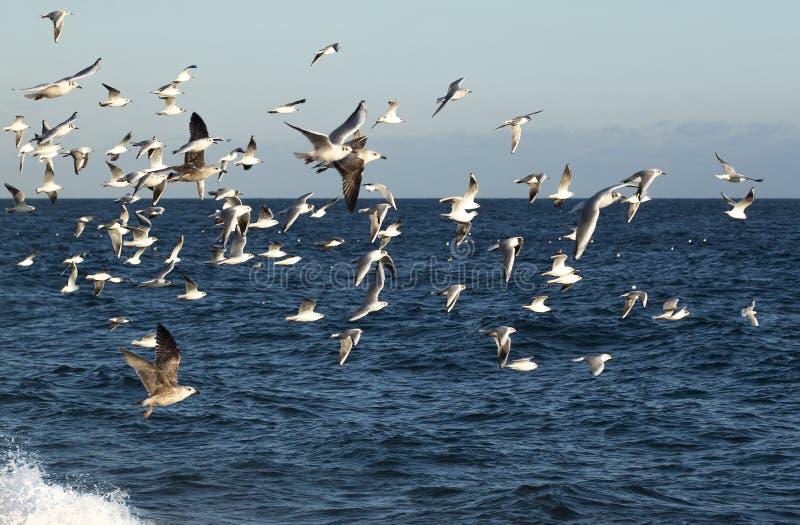 Gabbiani di mare fotografia stock
